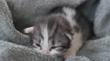 persie : Newborn kitten sleeping under wool blanket