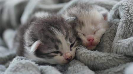persie : Two Newborn kittens sleeping under wool blanket Dostupné videozáznamy