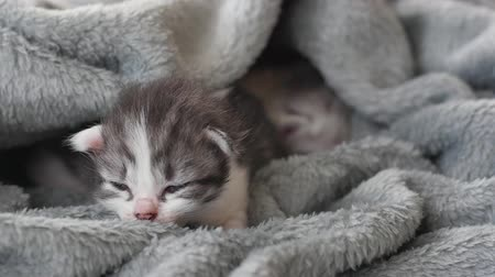 bichano : Newborn kitten sleeping under wool blanket