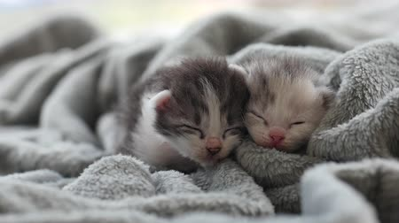 bichano : Two Newborn kittens sleeping under wool blanket Stock Footage