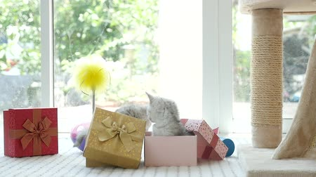 rodzeństwo : Cute tabby kitten playing in a gift box with Christmas decoration,slow motion Wideo