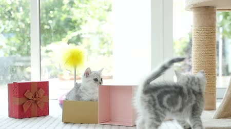 mourek : Cute tabby kitten playing in a gift box with Christmas decoration,slow motion Dostupné videozáznamy
