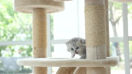 sitting floor : Cute persian kitten walking on cat tower slow motion Stock Footage