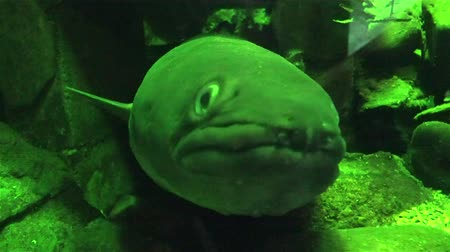 crevice : Conger Eel looking at the camera