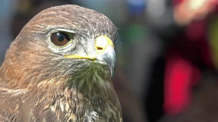 accipitridae : Head of falcon cluse up