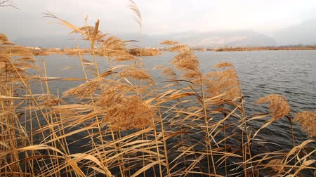 Wind and reed on Iseo lake, Lombardy, Italy. Dostupné videozáznamy