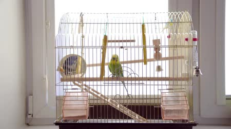 проворный : Budgerigar in bird cage. Budgie Parrot jumps on the cage Стоковые видеозаписи