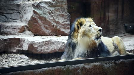 kükreme : The lion lies and growls in enclosure at the zoo Stok Video