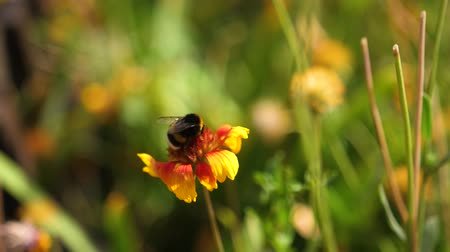 detail : humble-bee sits on yellow-red