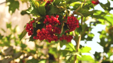 rowanberry : red berries viburnum