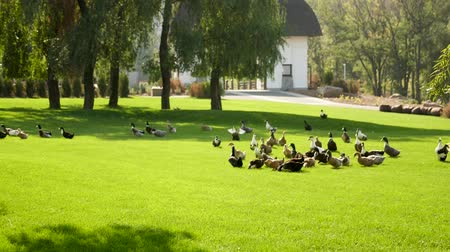 filmagens : Ducks walking on green grass in park.