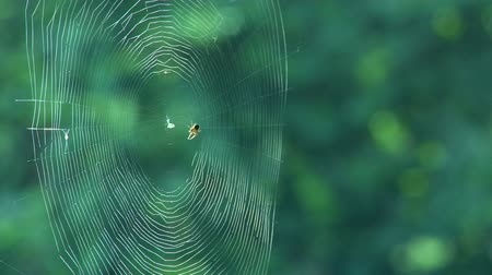 spider web : Spider weaving a web time lapse  Stock Footage