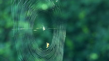 spider web : Spider weaving a web  Stock Footage