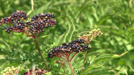 mürver : Elderberry in the wind