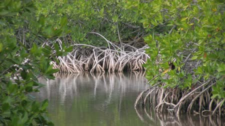 mangue : Inside a mangrove