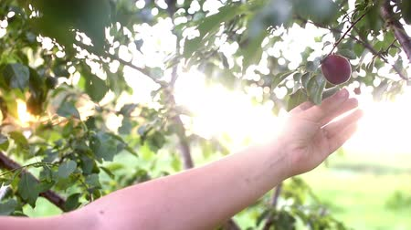 pereira : Close up shot of a woman picking ripe fresh organic plum in the local garden at sunset. Fruit picking season. Pick your own fruit. Ready to harvest, crop. Sun rays penetrate through foliage. Sun beam