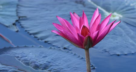 owady : Bees collects honey pink lotus flower with green leaves in pond