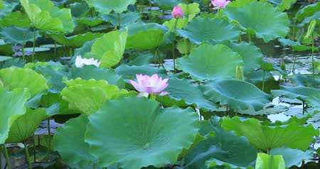 coletando : View of  pink lotus flower with green leaves in pond