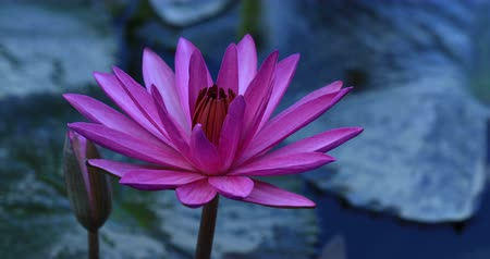 tropical insects : pink lotus flower with green leaves in pond