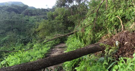 after the storm : Uprooted tree block trail in forest after super typhoon Mangkhut in China on 16 Sep 2018