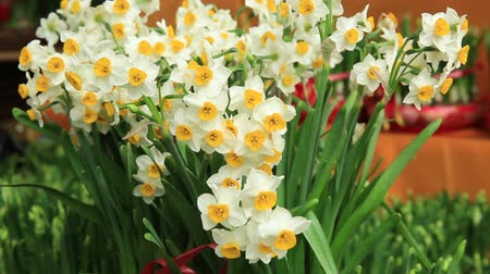 китайский новый год : blooming narcissus flowers in the wind