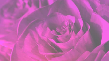 render : rotating pink roses background theme - 3D render. seamless loop