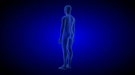 crânio : Human Anatomy Body 3D Scan render on blue background.- rotating seamless loop