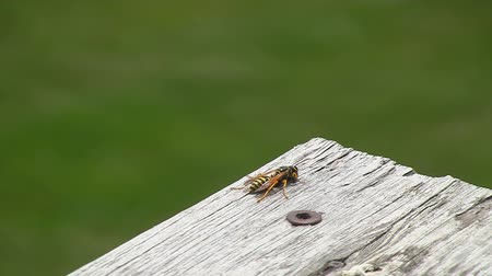 parafusos : Yellow Jacket Wasp turns around and flies away