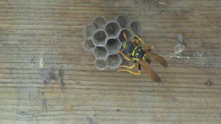 hnízdo : Yellow Jacket Wasp tends to Eggs in Nest