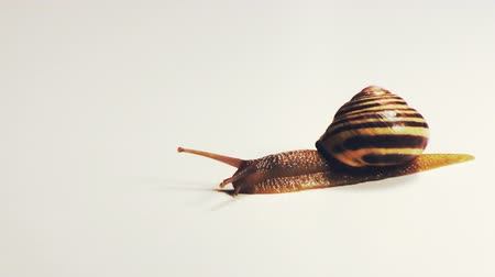 оболочка : Snail Slithers Slowly across a White Background