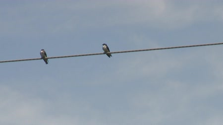 kable : Two Swallow Birds on a Wire in Love or Fighting