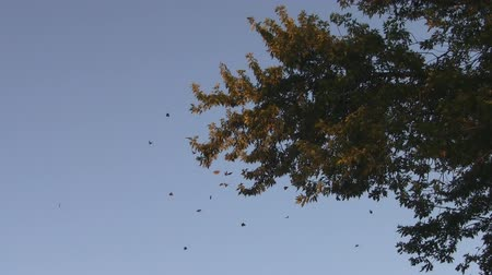 owady : Monarch Butterfly Migration Colony Wideo