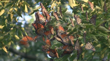 göç : Monarch Butterfly Migration Cluster