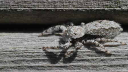 potwór : Jumping Spider facing left, spins quickly to face right Wideo