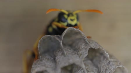 hive : Yellow Jacket Wasp tends to eggs in nest Stock Footage