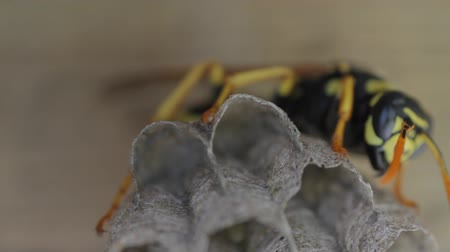 hnízdo : Yellow Jacket Wasp tends to eggs in nest Dostupné videozáznamy