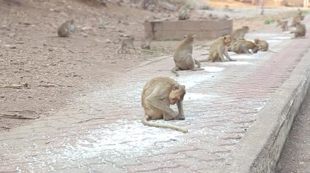 primaz : Monkey keep eating uncooked rice on the walkway.