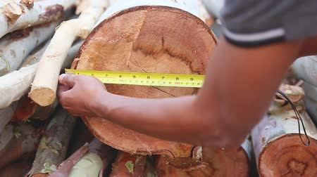 do it yourself : A man measure big size of Eucalyptus by using a tape measure.