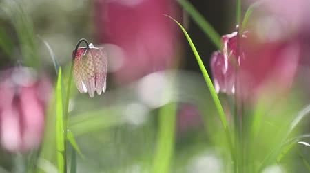 leper : View of blooming flowers of fritillaria meleagris growing in wild Stock Footage