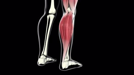 buzağı : This video shows the Calf muscles