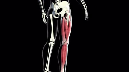 stehno : This 3d video shows The Muscles of the back thigh