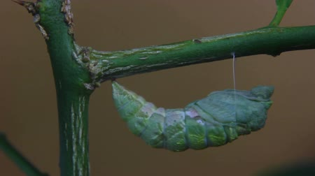 hernyó : caterpillar evolving is chrysalis on branch Stock mozgókép