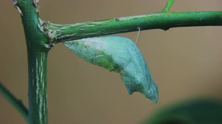 chrysalis : caterpillar evolving is chrysalis on branch Stock Footage