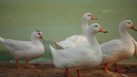 утки : White ducks with orange beaks are walking along the beach
