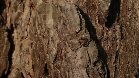 havlama : Ant on a tree bark Stok Video