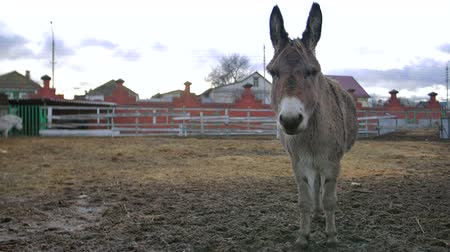 burro : donkey stay and show affection in the zoo Stock Footage