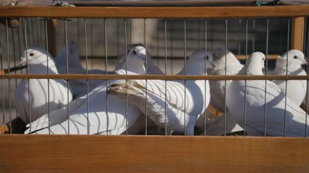 pigeon nest : White wedding pigeons in cage, birds in captivity close up
