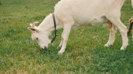 boynuzlu : A white domestic goats standing on the farm and eating
