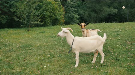 horned : A white domestic goats standing on the farm and eating