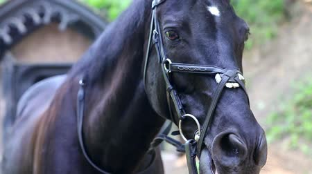 friesian : Beautiful black horse in the bridle.